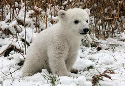Tristes Reflexiones del Oso Polar
